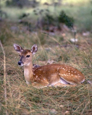 Fawn curled up in grass