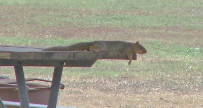 squirrel stretched out in the shade