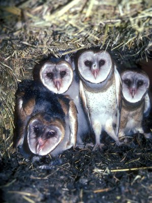 Four barn owls looking at camera