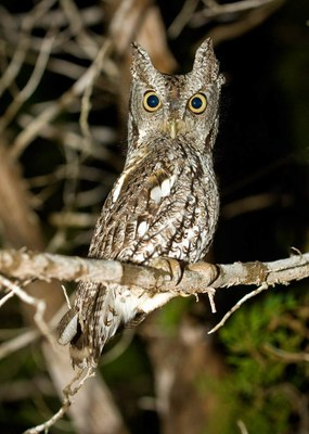 Screech owl perched on tree branch at night
