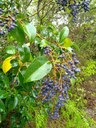 Glossy privet leaves and blue berries
