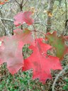close-up of red oak leaves