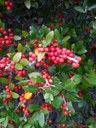 Red yaupon berries
