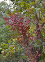 fall foliage picture from October 22-23, 2011 of a Virginia Creeper vine