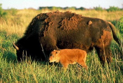 Mother bison with baby by her side, grazing on grass.