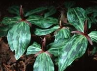 Closeup of trillium plant