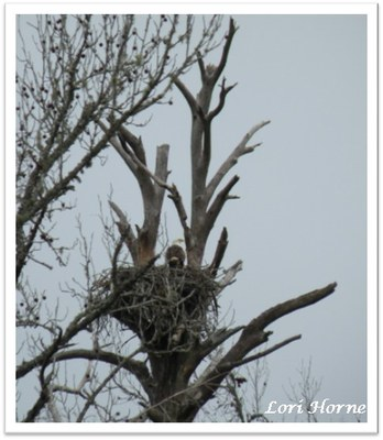 bald eagle on a nest high in a tree