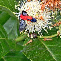 red moth feeding on flower nectar