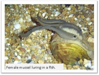 female mussel luring a fish