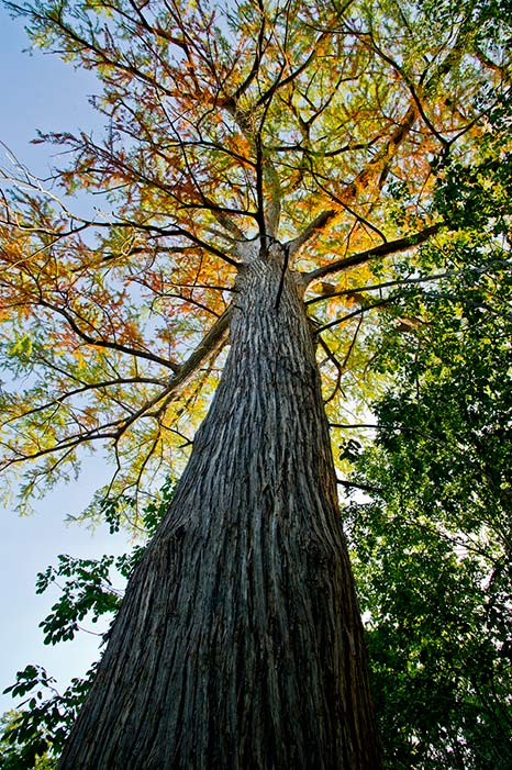 """""""Old Baldy,"""" one of the oldest bald cypress trees on public land in Texas."""