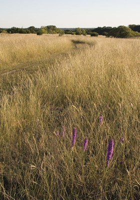 Prairie grasses with trees in the background