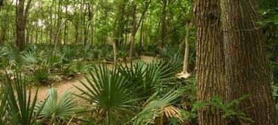 Dwarf palmettos growing along a trail