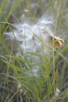 Grass with fluffy seeds bursting from pod