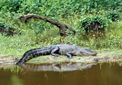 Alligator basking on the bank of a pond.