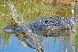 Alligator mostly submerged in water.