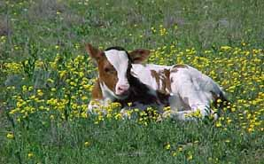 A calf from the official state longhorn herd at San Angelo State Park.