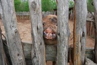 Pig looking through wooden fence at Barrington Farm