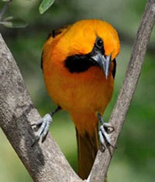 bright orange bird