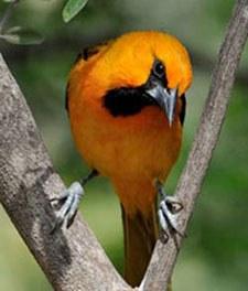 bright orange bird