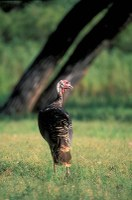 Turkey standing in field