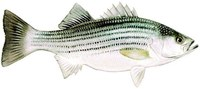 Illustration of a striped bass