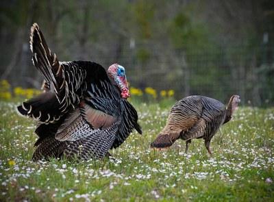 Two turkeys in a field