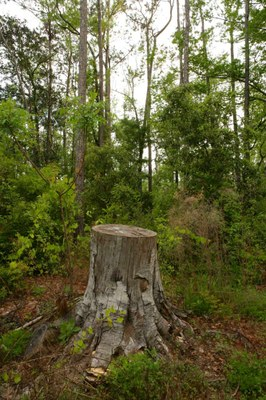 Tree stump surrounded by tall trees in a forest.