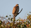 Red-shouldered hawk sitting on a branch