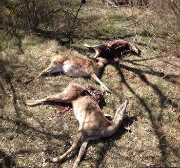 OGT_killed deer