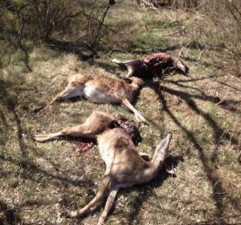 OGT_killed deer