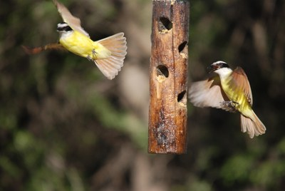 Great Kiskadees at feeder